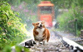 狗界影帝? 這隻日本柯基犬的表情超有戲