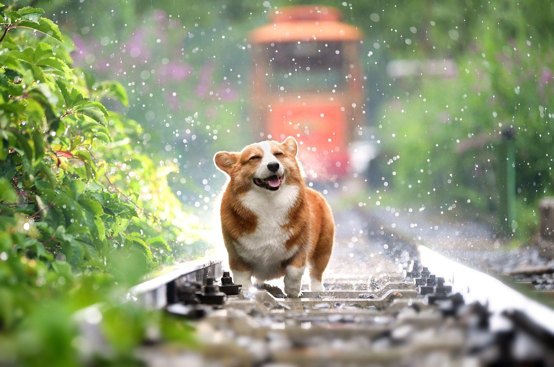 日本一隻名叫Gen的柯基犬有很豐富的表情,令人喜愛。圖為一隻柯基犬,與本文無關。(Pixabay)