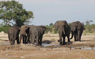 非洲象成群離奇死亡 或引發新公共衛生危機