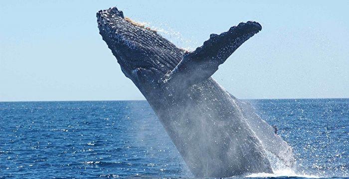 三頭虎鯨圍捕座頭鯨近兩小時 場面驚心動魄