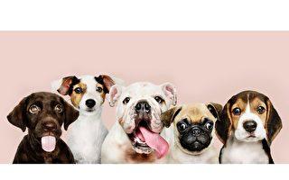 簡易抹腮DNA測試愛犬準確品種