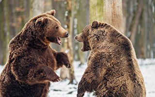 中俄棕熊在边境展开大战 为了争夺领土吗?