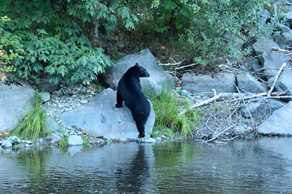 头卡塑胶桶在湖里挣扎 美国小黑熊获救
