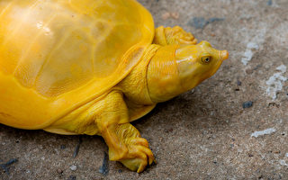 全身都是亮黃色 罕見的鱉在印度現身