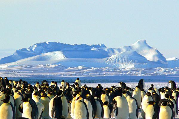 新研究:企鹅源自澳洲新西兰 并非南极