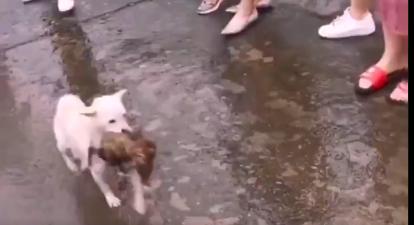 四川眉山洪災時,一隻流浪狗媽媽奮不顧身,跳入洪水救回狗寶寶。(視頻截圖)
