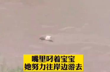 四川眉山洪災時,一隻流浪狗媽媽奮不顧身,跳入洪水救狗寶寶,正用嘴巴叼著找到的狗寶寶,往岸邊游去。(視頻截圖)