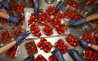 昆州再现草莓藏针事件