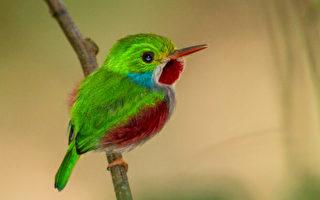 难以置信的可爱 珍稀观赏小鸟:古巴托迪