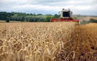 大陸農民沒餘糧 學者:糧食增產數據造假