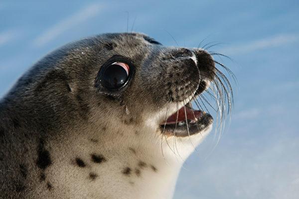 海豹脖子套繩索拉船 比利時動物公園遭抗議