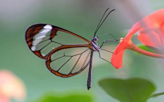 最美丽昆虫 拥有透明翅膀的玻璃翼蝴蝶