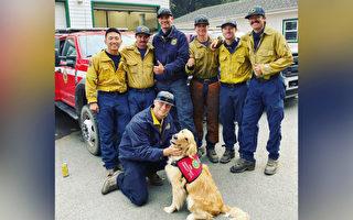 超解压!金毛治疗犬陪伴一线消防员传递爱心