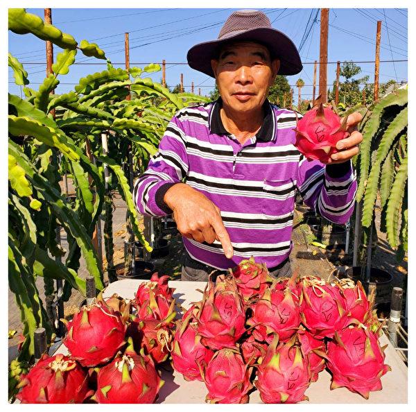 火龍果與夏威夷花園農場的傳奇