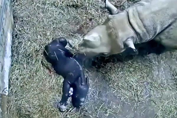 美國動物園傳喜訊 珍稀瀕危黑犀牛誕下寶寶