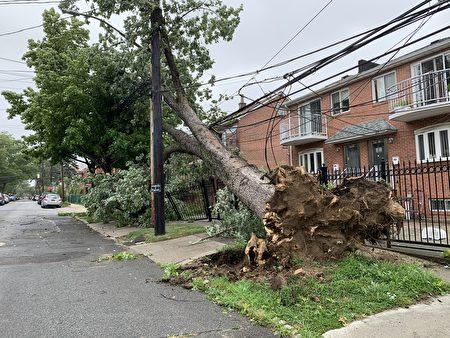 法拉盛友联街大树倒下,砸倒电线杆。