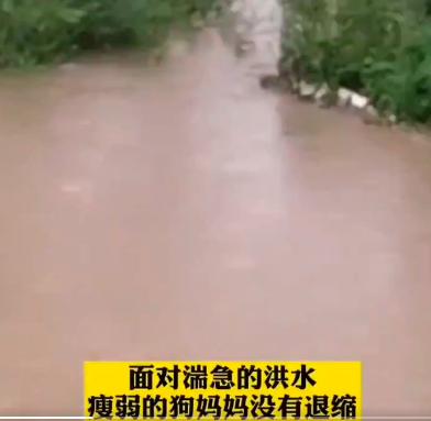 四川眉山洪災時,一隻流浪狗媽媽奮不顧身,跳入洪水救狗寶寶。(視頻截圖)