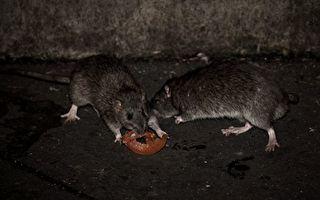 新州内陆鼠患成灾 三名患者在医院被咬伤
