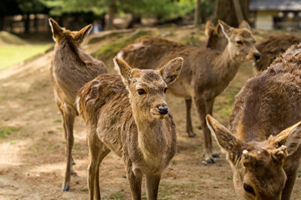 持續高溫 日本奈良野生鹿避暑各有高招