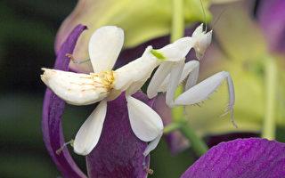 花吃蝴蝶?這昆蟲比蘭花更像蘭花