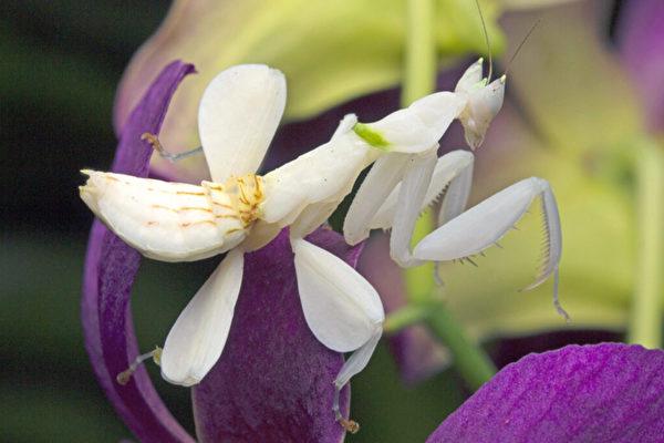 花吃蝴蝶?这昆虫比兰花更像兰花