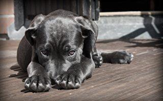 与主人走失无法回家 泰国小狗向兽医求助