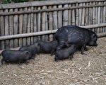 拯救垂死的魚 一群豬因善行成為網紅