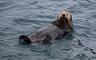 遭虎鲸追杀 聪明海獭竟跳上船求救