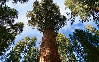 仍屹立不倒 加州千年红杉在野火中幸存