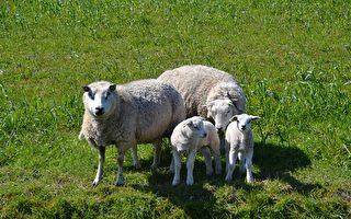 """史上最贵 苏格兰一绵羊以""""天价""""拍卖成交"""