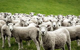 """英国一群绵羊似被""""点穴"""" 静止几个小时"""