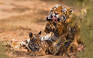 印度復育有成 老虎數量12年來倍增