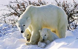 北极熊母子现身俄罗斯最北端城市 或为觅食