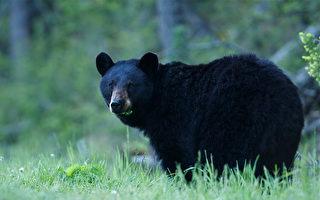 萨省妇女正打电话 突遭黑熊袭击丧生