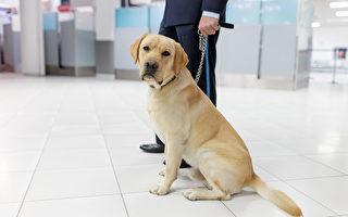 為什麼美國機場偏好耳朵下垂的工作犬?