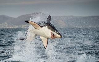 惊人画面:大白鲨为捕食跃出海面4.6米