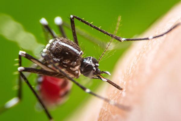 波士頓今年首見西尼羅毒蚊