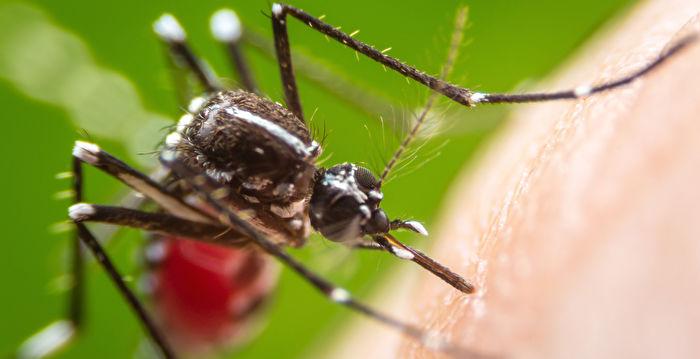 萬錦出現攜帶西尼羅河病毒蚊子