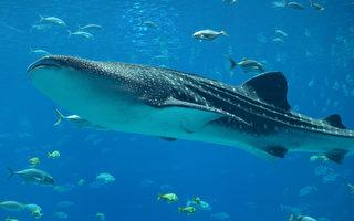 中東男子騎在幾米長鯨鯊背上 招致非議