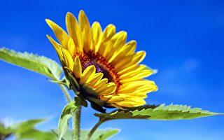 因儿子一句童言 英男种出比房子高的向日葵