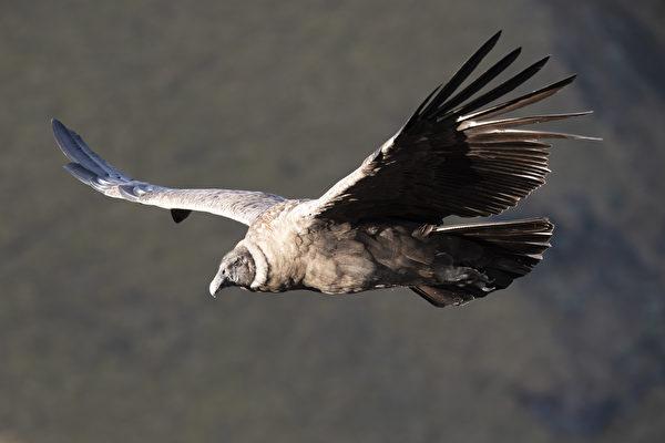 厄瓜多一对安地斯神鹰夫妻很会生 有助复育