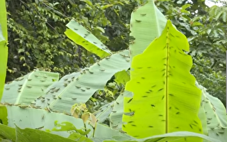 【一線採訪】雲南蝗災鼠害 農作物損失慘重