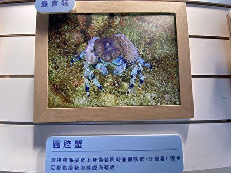 很美吧!因為是最會偽裝的螃蟹。