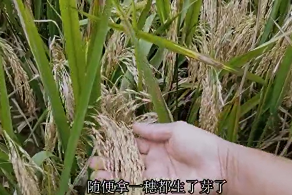 【一线采访】夏粮绝收秋粮减产 民欲哭无泪