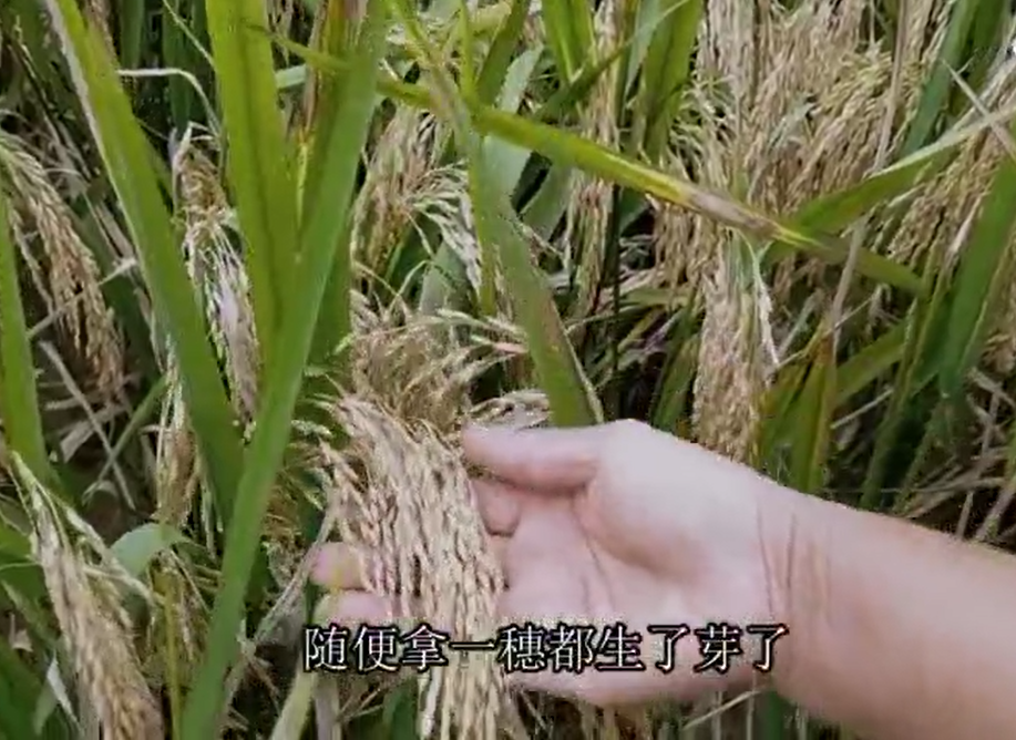 【一線採訪】夏糧絕收秋糧減產 民欲哭無淚
