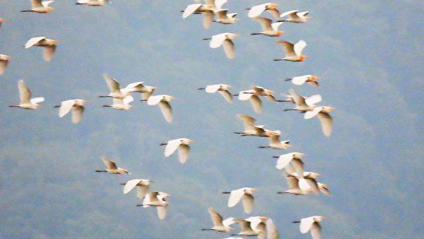 【視頻】萬鷺朝鳳奇景 10萬隻黃頭鷺大遷徙