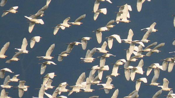【视频】万鹭朝凤奇景 10万只黄头鹭大迁徙
