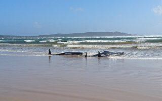 250头鲸鱼在塔州西海岸搁浅 当局紧急救援