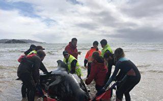 澳洲最大规模鲸鱼搁浅事件 380头已死亡