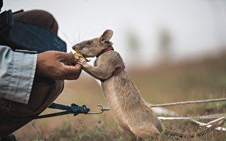 """用鼻子找出地雷 """"英雄鼠王""""获颁动物勇气奖"""